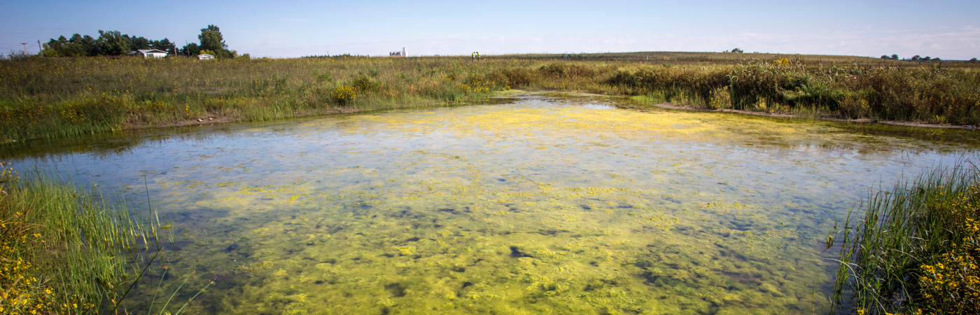Blue Green Algal Blooms