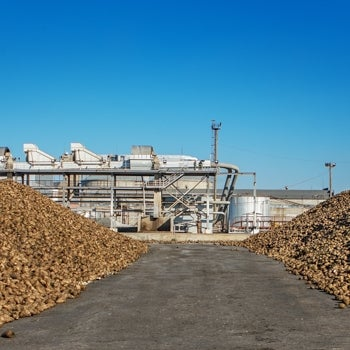 Sugar beet pile of the field after the harvest before processing at the plant for the production of sugar.
